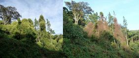 Sericostachys scandens in Nyungwe National Park, showing the recent die-off. Left: 20 January 2010, right: 27 October 2010 (© Paul Scholte)