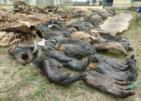 Chimpanzee and gorilla hands confiscated during the operation in January 2011 (© Luc Mathot)