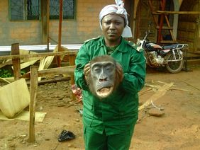 Wildlife law enforcement operation in East of Cameroon led to arrest of traffickers in gorilla parts. (© LAGA)