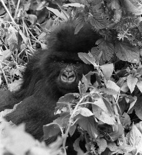 Titus as a subadult in the 1980s (© Kelly Stewart)
