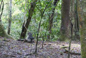 New Population Estimate for Western Lowland Gorillas