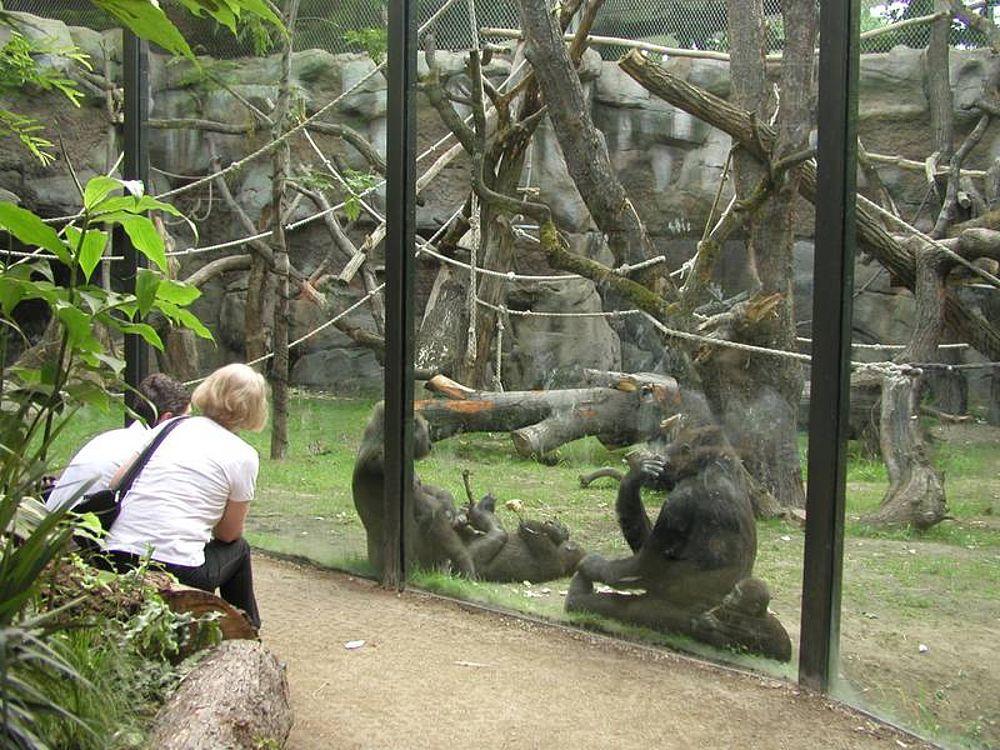 Zoos Berggorilla Amp Regenwald Direkthilfe E V