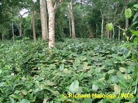 Swampy forest with Marantaceae