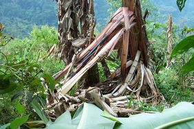 Banana plant destroyed by gorillas at the edge of the Bwindi Impenetrable National Park (© Michele Goldsmith)