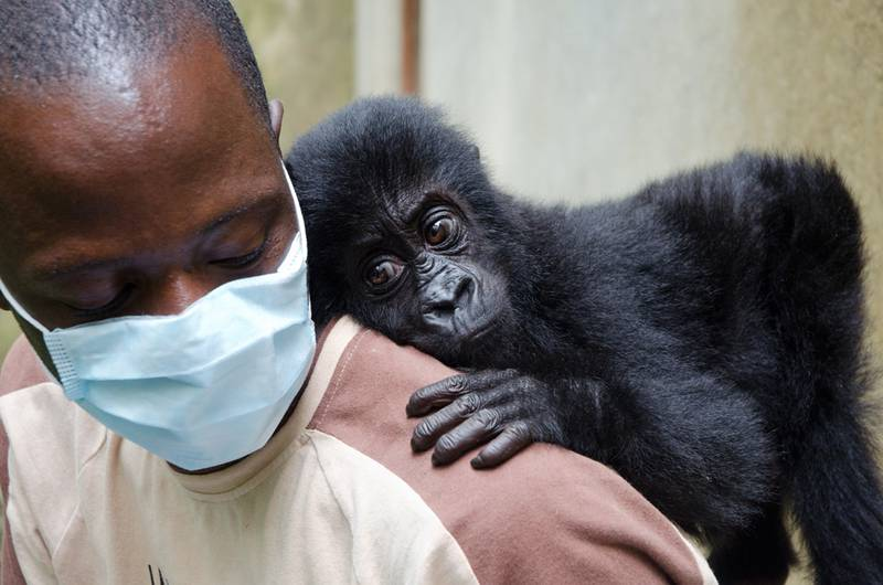 Isangi with her caretaker (© Molly Feltner/gorilla doctors)
