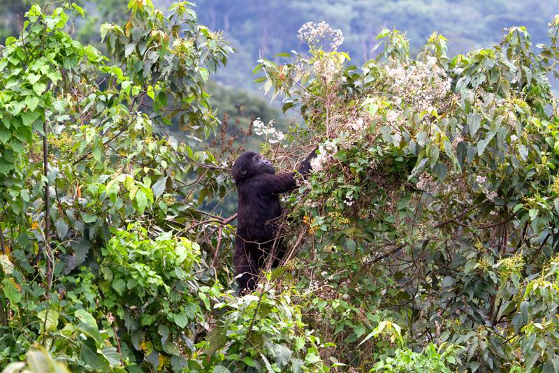 One of the orphans climbs a tree in the new enclosure (© Andrew Bernard)