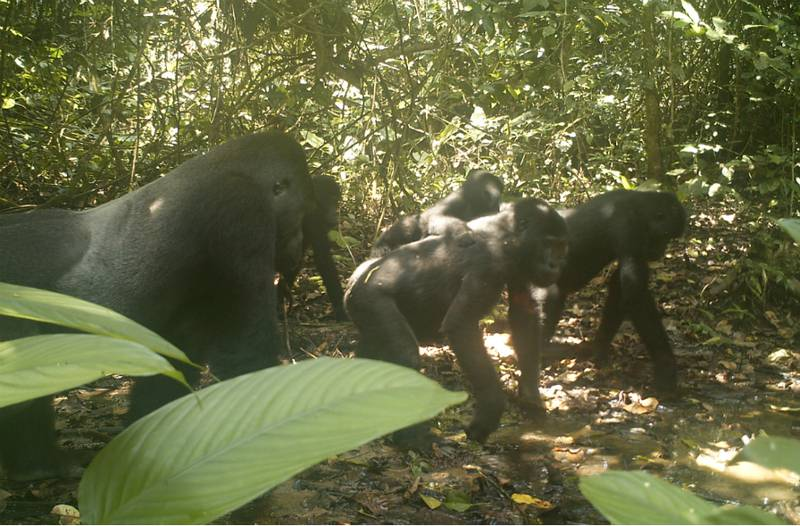 A camera trap placed in the forest caught a group of Grauer's gorillas. (© DFGFI)