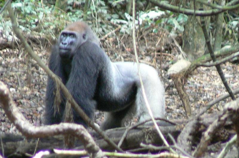 The silverback Papa Gentil in Group Gentil (Sept. 2007) (© Chieko Ando)