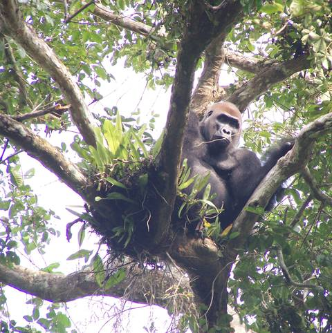 A silverback gorilla looking for fruits in Loango (© Josephine Head)