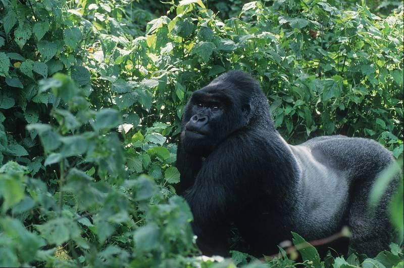 sind gorillas gef hrlich f r menschen berggorilla regenwald direkthilfe e v. Black Bedroom Furniture Sets. Home Design Ideas