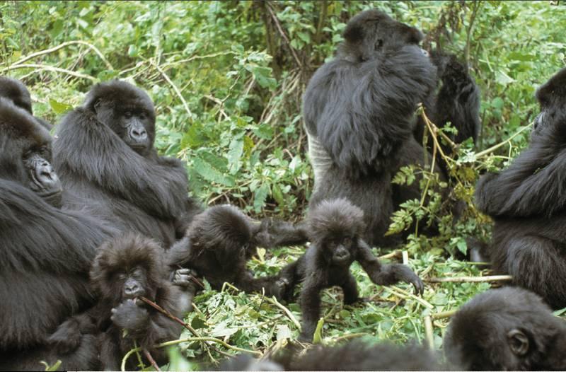How does a Gorilla grow up? - Berggorilla & Regenwald Direkthilfe e.V.