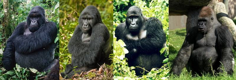 an analysis of the gorilla species Generation times in wild chimpanzees and gorillas suggest earlier the western gorilla species from demographic analysis of a large.