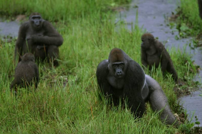 dos spiele gorilla