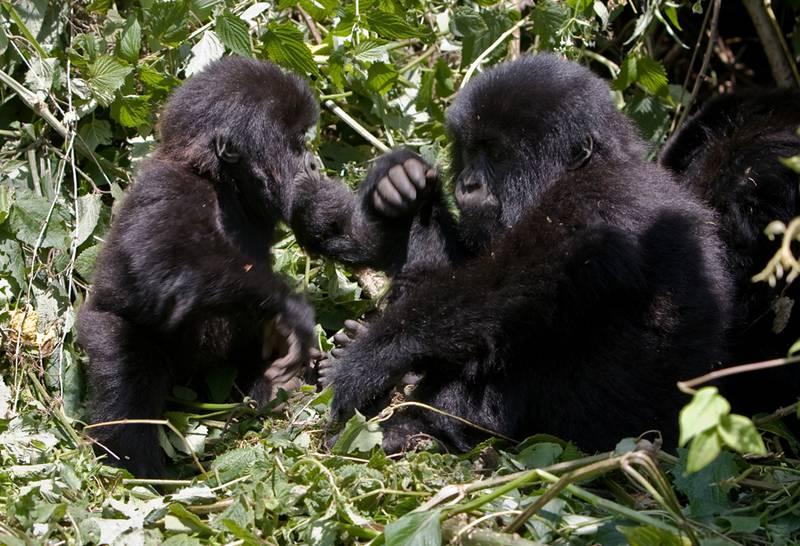 Gorillas Spiel
