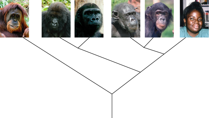 relationship between human monkey and apes